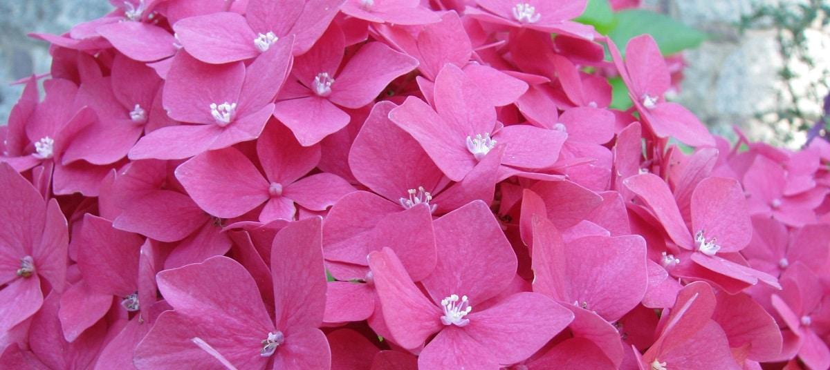 Fleurs d'hortensias roses du gîte les hortensias à Baugy